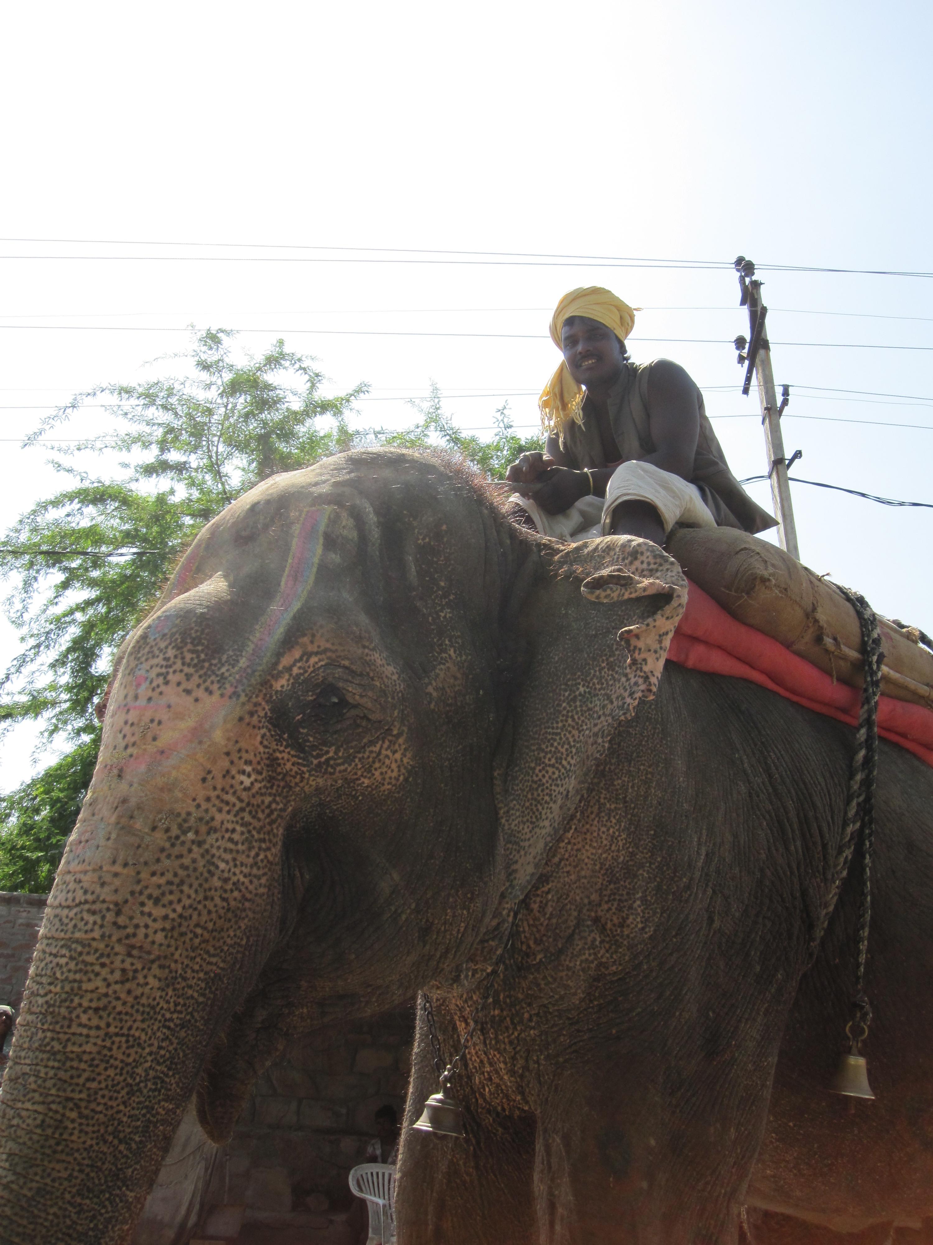 Elefant, Udaipur